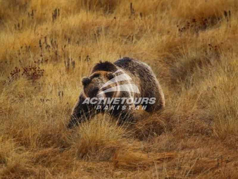 see the brown bear in the deosai national park